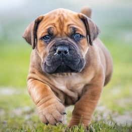 Puppy/junior